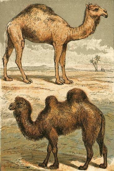 Arabian Camel and Bactrian Camel-English School-Giclee Print