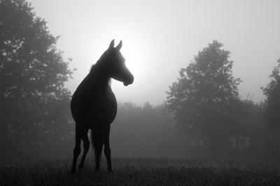 Arabian Horse in Grey Tones