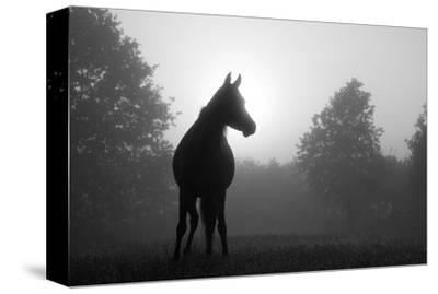 Arabian Horse in Grey Tones