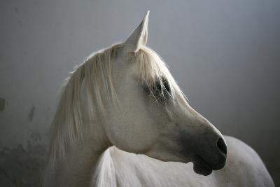 Arabian Horse-Photo by Eman Jamal-Photographic Print