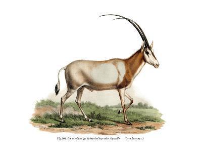 Arabian Oryx, 1860--Giclee Print