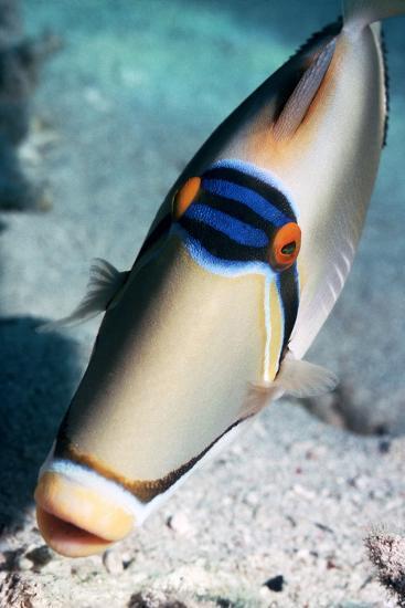 Arabian Picasso Triggerfish-Georgette Douwma-Photographic Print