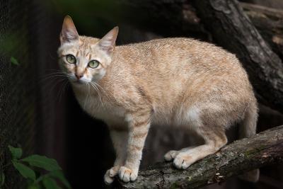Arabian Wildcat (Felis Silvestris Gordoni), also known as the Gordon's Wildcat. Wildlife Animal.-Vladimir Wrangel-Photographic Print