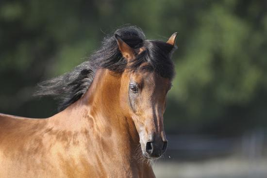 Arabians 001-Bob Langrish-Photographic Print