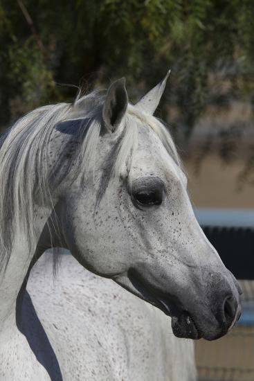 Arabians 005-Bob Langrish-Photographic Print