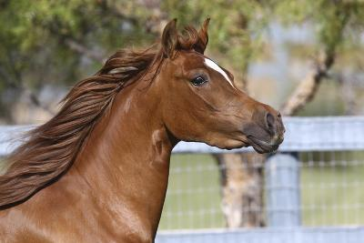 Arabians 016-Bob Langrish-Photographic Print