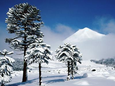 Araucaria (Monkey Puzzle) Trees in Snow Below Volcan Llaima, La Aracucania Region-Grant Dixon-Photographic Print