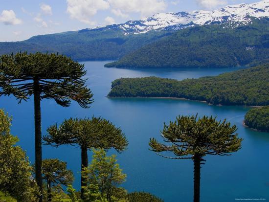 Araucaria Trees Above Lago Conguillio-Bethune Carmichael-Photographic Print