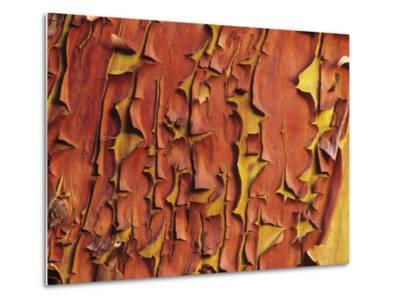 Arbutus Tree, Bark Pattern, British Columbia, Canada.-Chris Cheadle-Metal Print