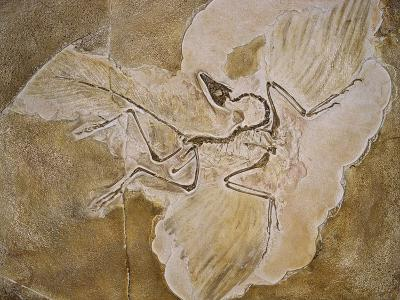 Archaeopteryx Lithographica Fossil-Naturfoto Honal-Photographic Print