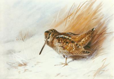 A Woodcock Among Reeds
