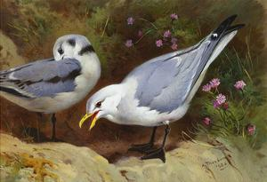 Kittywake Gulls by Archibald Thorburn