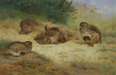 Partridges Basking