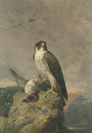 Peregrine and Teal