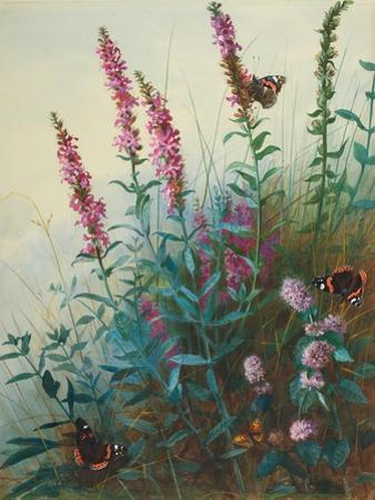 Purple Loosestrife and Watermint, C.1910-20