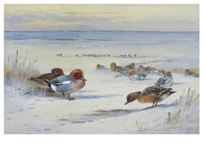 Widgeon in The Snow