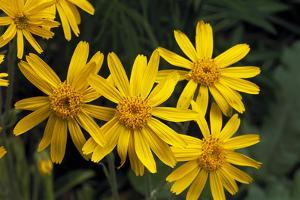 Arnica Montana by Archie Young