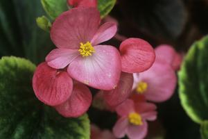 Begonia Semperivirens by Archie Young