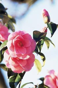Camellia X Williamsii 'Donation' by Archie Young