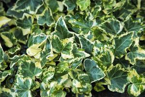 English Ivy (Hedera Helix 'Golden Child') by Archie Young