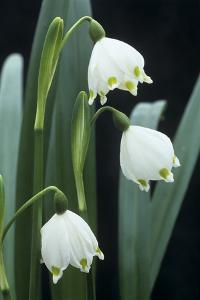 Leucojum Vernum Flowers by Archie Young