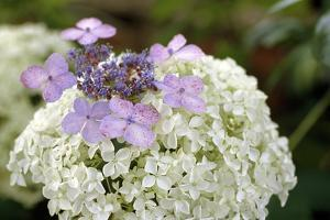 Mixed Hydrangea Flowers by Archie Young