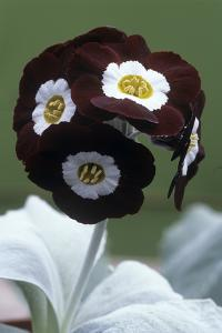 Show Auricula 'Gizabroon' Flowers by Archie Young