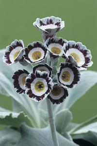 Show Auricula 'Star Wars No. 1' Flowers by Archie Young