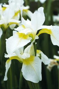 Siberian Iris (Iris 'Dreaming Yellow') by Archie Young
