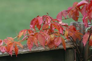 Virginia Creeper by Archie Young