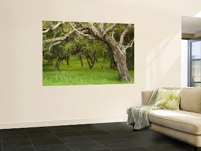 Arching Oaks in Carmel Valley-Douglas Steakley-Wall Mural