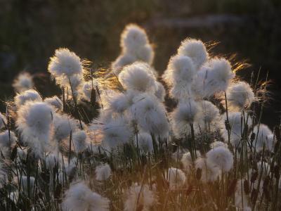 Arctic Cotton Grass (Eriophorum), a Sedge on the Tundra, Canada-Tim Hauf-Photographic Print