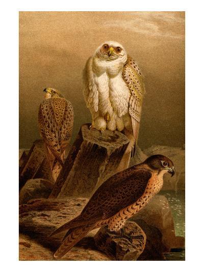 Arctic Falcon-F^W^ Kuhnert-Art Print