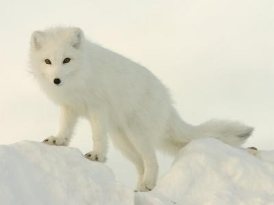 Arctic Fox, Along the Ice Edge of Hudson Bay, Near Churchill, Canada-Daniel J. Cox-Photographic Print