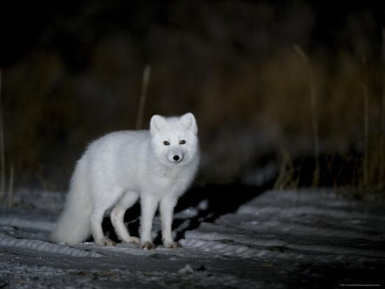 Arctic Fox, Alopex Lagopus, Churchill, Manitoba, Canada-Thorsten Milse-Photographic Print