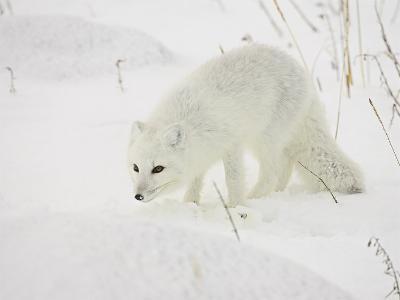Arctic Fox (Alopex Lagopus) in Snow, Churchill, Manitoba, Canada, North America-James Hager-Photographic Print