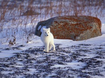 https://imgc.artprintimages.com/img/print/arctic-fox-churchill-manitoba-canada_u-l-p2oo4w0.jpg?p=0