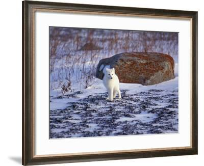 Arctic Fox, Churchill, Manitoba, Canada-Art Wolfe-Framed Photographic Print