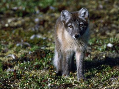Arctic Fox Cubs Near Den Site-Jeff Foott-Photographic Print