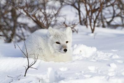 Arctic Fox in Snow, Churchill Wildlife Area, Manitoba, Canada-Richard ans Susan Day-Photographic Print