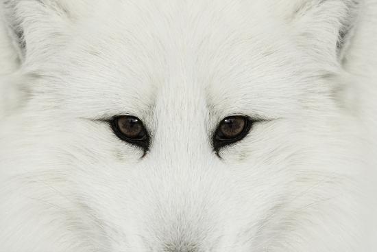 Arctic Fox in snow, Montana.-Adam Jones-Premium Photographic Print