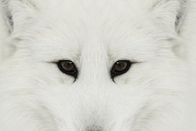 https://imgc.artprintimages.com/img/print/arctic-fox-in-snow-montana_u-l-q1d1vep0.jpg?p=0