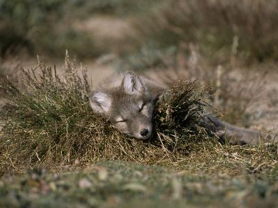 Arctic Fox Pup (Alopex Lagopus) Sleeps in Some Brush in the Tundra-Norbert Rosing-Photographic Print