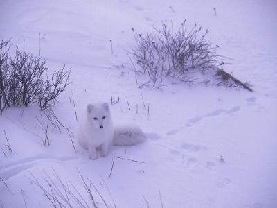 Arctic Fox Sits in the Snow-Jeff Foott-Photographic Print