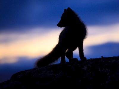 https://imgc.artprintimages.com/img/print/arctic-fox-vulpes-lagopus-silhouetted-at-twilight-greenland-august-2009_u-l-q10odvf0.jpg?p=0