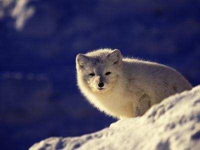 Arctic Fox, Winter Pelage, Alopex Lagopus-D^ Robert Franz-Photographic Print