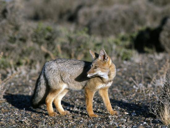 Arctic Fox-Jeff Foott-Photographic Print