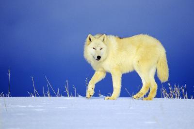 Arctic Gray Wolf in Winter Snow--Photographic Print