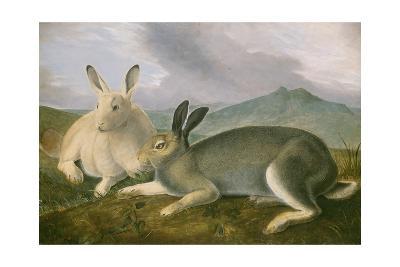 Arctic Hare, 1841-John James Audubon-Giclee Print