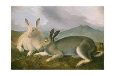 https://imgc.artprintimages.com/img/print/arctic-hare-1841_u-l-q12nwhh0.jpg?p=0